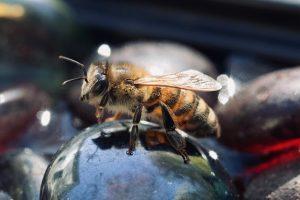 trinkende Bienen